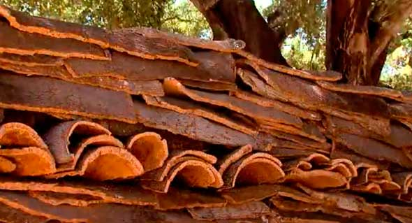 Заготовка коры пробкового дерева